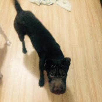 Darla. Dog for adoption