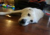 Dash. Lab Cross Pup For Adoption. Oasis Animal Rescue, Toronto, GTA.