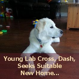 Dash. Lab Cross Pup. Adoption. Oasis Animal Rescue