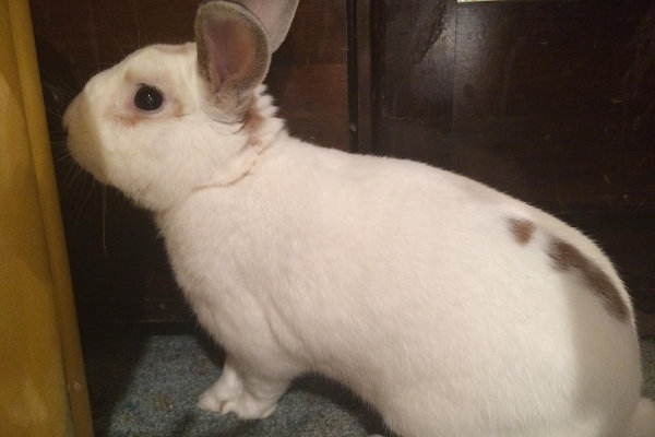 Rabbits for adoption. Jackson. Oasis Animal Rescue