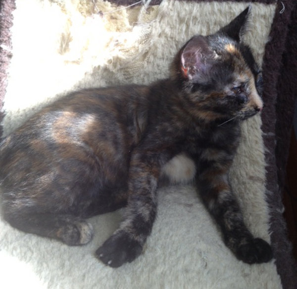 Mad Eye Moodie, an adoptable kitten at Oasis Animal Rescue. Toronto GTA