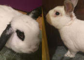 Cherry And Jackson. Bunnies Seeking New Forever Homes