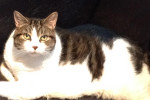 Dakota. Very Affectionate, Beautiful, Female Cat For Adoption
