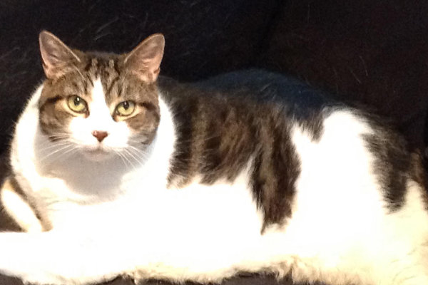 Dakota. Cat for adoption. Oasis Animal Rescue, Toronto, GTA, Durham Region