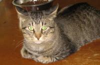 Donald. Cat for adoption. Oasis Animal Rescue, Toronto, GTA