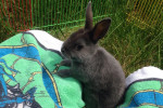 Lily. Beautiful, Four Month Old, Female Rabbit For Adoption