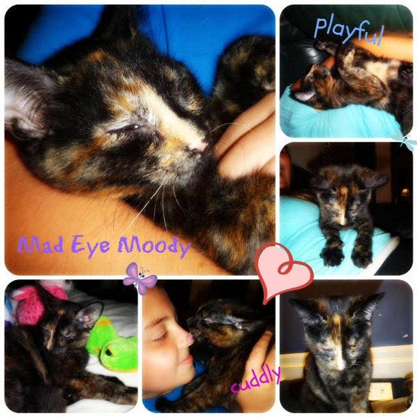 Mad Eye Moodie. Kitten for adoption. Oasis Animal Rescue, Toronto, GTA