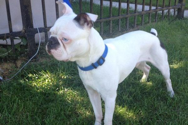 Monty. Boston Terrier for adoption, Oasis Animal Rescue, Toronto, GTA