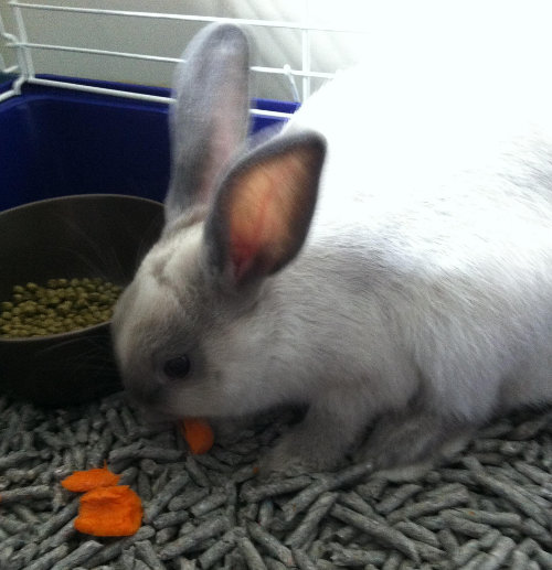 Dixie. Rabbit or adoption. Oasis Animal Rescue, GTA, Toronto