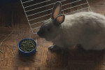 Dixie. 12 Month Old Rabbit, Real Cutie, ADOPTED