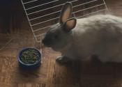 Dixie. Rabbit or adoption. Oasis Animal Rescue, GTA, Toronto
