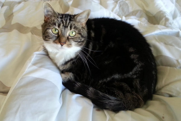 Mossi. Cat for adoption. Oasis Animal Rescue