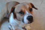 Lou. Corgi, Bulldog Cross Seeks Stable Foster/Perm Home