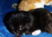 Kittens Squeaks and Oreo. For adoption. Contact Oasis Animal Rescue, Toronto GTA Durham Region