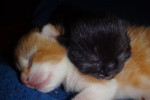 Neffie. Rescue Cat Delivers Two Kittens, Squeaker And Oreo