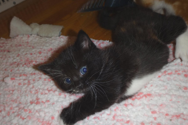 Oreo. Kitten for adoption. Oasis Animal Rescue