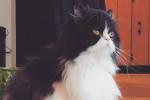 Cream. Super Affectionate Persian Cat Has Found A New Home