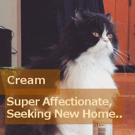Cream. Persian cat for adoption. Oasis Animal Rescue.