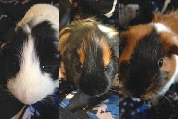 Three Guinea Pigs For Adoption. Oasis Animal Rescue