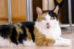 Gracie. Affectionate Cat, Truly A Treasure, Seeks New Home