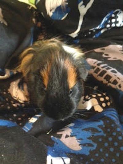 Guinea Pig for Adoption. Hunter.