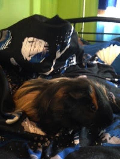Guinea Pig for Adoption. Hunter. Oasis Animal Rescue.