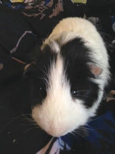 Guinea Pig for Adoption. Pepper.