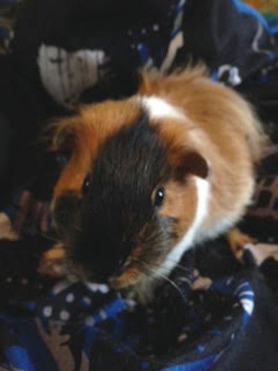Guinea Pig for adoption. Swordsman. Oasis Animal Rescue.