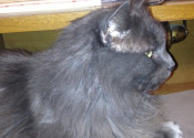 Thomas. Affectionate, Social, Male Cat Seeks Loving Home