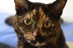 Mona. Lap Cat Seeks Loving New Home – UPDATE