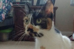 Josie. Seeking Forever Home For Affectionate, Sociable Cat