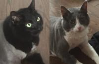 Shilah and Makita. Cat pair for adoption. Oasis Animal Rescue, GTA, Durham Region, Oakville