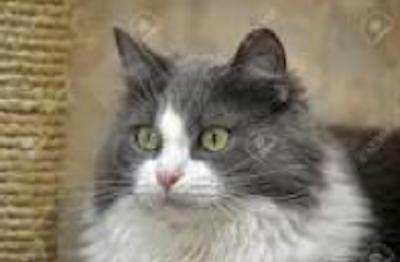 Lucille. Cat for adoption, GTA Toronto, Durham Region, Oakville. oasisanimalrescue.ca