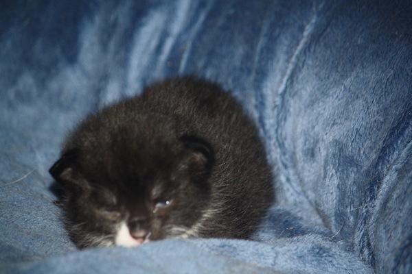 Goldie's kittens. Oasis Animal Rescue, Toronto GTA