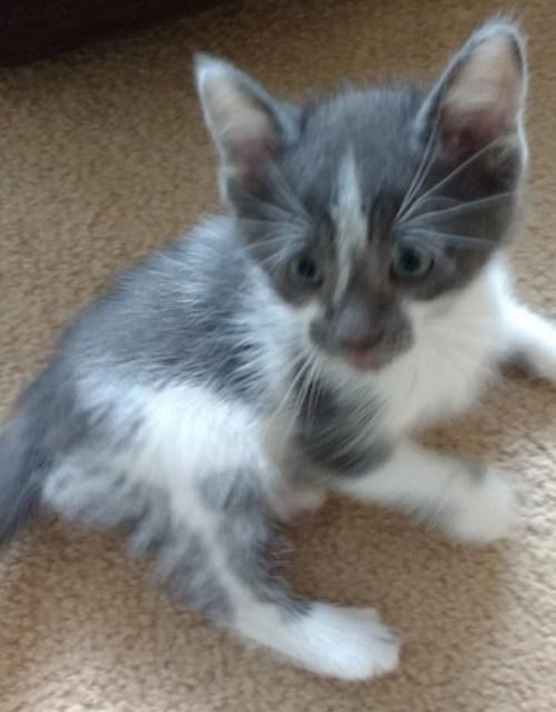 Jonah. Kitten for adoption. Oasis Animal Rescue.