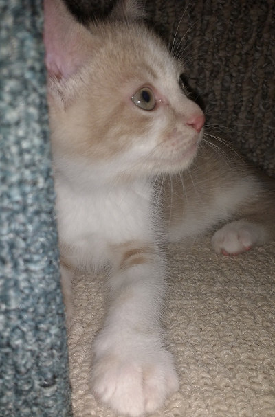 Glory. Young kitten seeking new home. oasisanimalrescue.ca