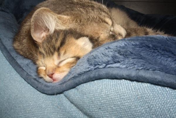 Kittens for adoption. GTA Toronto. Oasis Animal Rescue