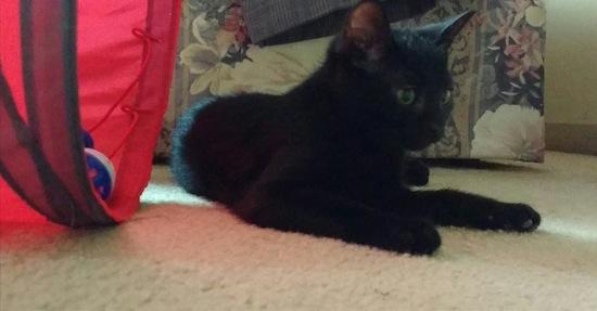 Jinxie kitten for adoption