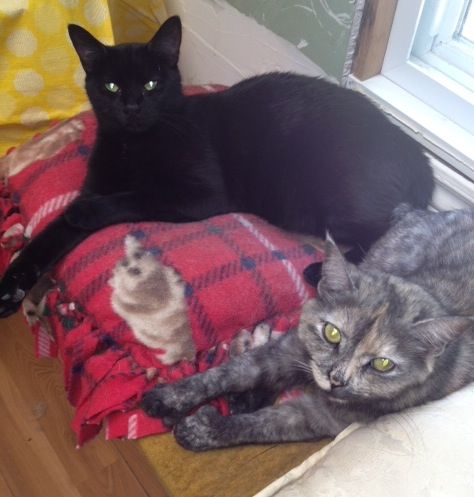 Tiffany and Midnight. Best friend cats for adoption.Oasis Animal Rescue.