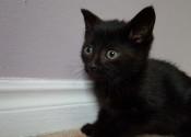 Jinxie. Entertaining Kitten Seeks Forever Home