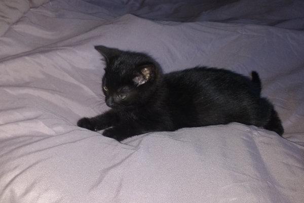 Jinxie. Kitten for adoption. Oasis Animal Rescue. Toronto GTA