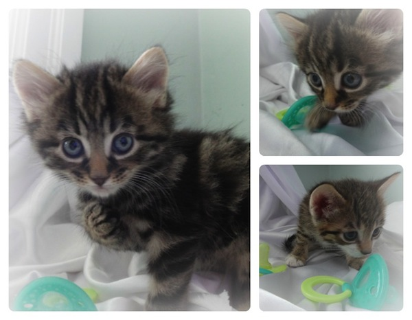 Arya - kitten for adoption