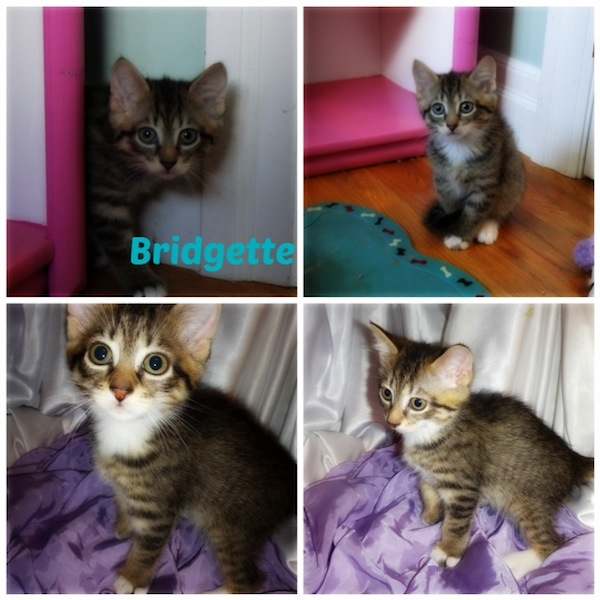 Kitten named Bridgette for adoption. Oasis Animal Rescue