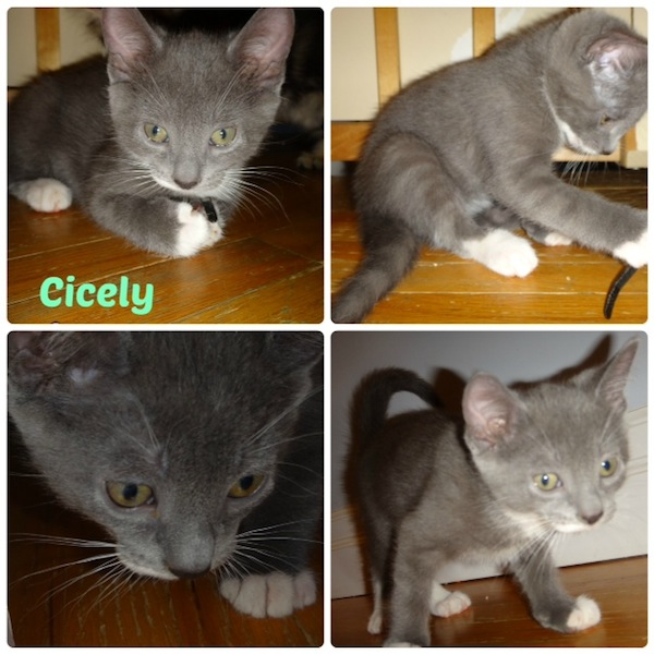 Kitten named Cicely for adoption. Oasis Animal Rescue, Toronto GTA pet adoption services
