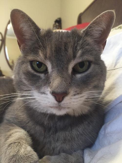 Tegan. Senior cat for adoption. Oasis Animal Rescue. Toronto GTA