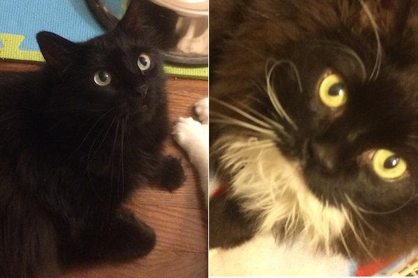 Brooks and Leeland. Cats for adoption. Toronto GTA