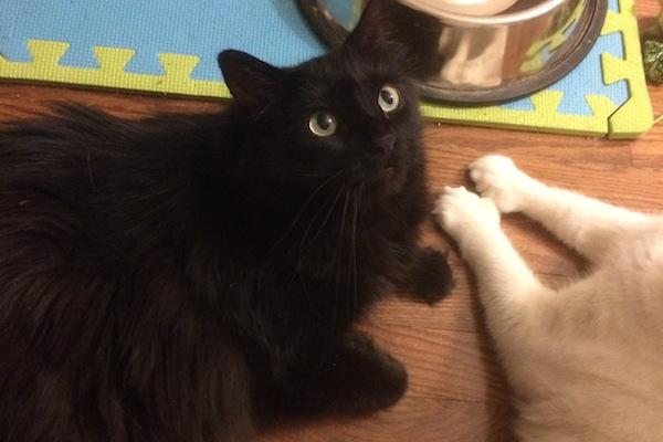 Brooks. Cat for adoption. Toronto GTA