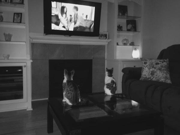 Adoptable kittens watching Coronation St