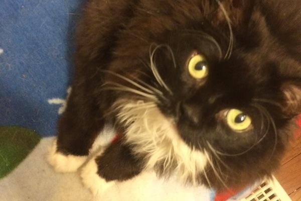 Leeland. Cat for adoption. Toronto GTA. Durham Region, Oasis animal rescue