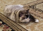 Lisa. Cat In Golden Years Needs Loving New Home